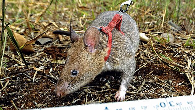 Como cazar una rata grande great informacin sobre las - Como cazar ratones ...