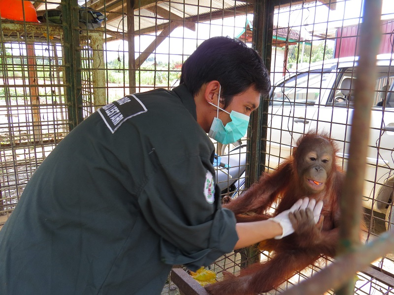 ***EXCLUSIVE*** KALIMANTAN PROVINCE, INDONESIA - UNDATED: Jati, an 18-month-old baby orangutan being checked over after she was freed from illegal captivity as a pet in Kalimantan Province, Indonesia. AN adorable baby orangutan - who was dressed as a baby girl by her owner - has been rescued from captivity. The 18-month-old orphan, named Jati, was discovered in a village in the Kalimantan province of Indonesia, where she was being kept as a pet. Jati was found cold and shivering from a fever brought on by a bout of flu when discovered by volunteers from the Borneo Orangutan Survival Foundation (BOS Foundation). Jati has since been taken to Nyaru Menteng, the BOS Foundation's rescue and reintroduction centre in Central Kalimantan. At the rescue centre she has embarked on the long road of rehabilitation, with the aim being to reintroduce her to the rainforest - a process that can take between seven and 10 years. PHOTOGRAPH BY BOS Foundation / Barcroft India UK Office, London. T +44 845 370 2233 W www.barcroftmedia.com USA Office, New York City. T +1 212 796 2458 W www.barcroftusa.com Indian Office, Delhi. T +91 11 4053 2429 W www.barcroftindia.com *** Local Caption *** 01697270