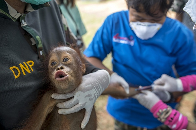 A two-year-old orangutan reacts as Thai veterinarians collect blood sample during a health examination at Kao Pratubchang Conservation Centre in Ratchaburi, Thailand, August 27, 2015. Thai veterinarians from the Department of National Park Wildlife, and Plant Conservation conducted a health check of 14 orangutans for preparation for the repatriation to their country of origin, Indonesia. Most of Sumatran and Borneo Kalimantan orangutans, were confiscated from entertainment businesses in Phuket province since 2008. Authorities said the orangutans are being examined to ensure they are free from diseases such as Rabies, Foot and Mouth disease, Tuberculosis, Hepatitis and Herpes. Thai officials said the orangutans are expected to return to Indonesia in September. REUTERS/Athit PerawongmethaCODE: X02943