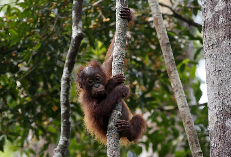 A baby orangutan hangs from a tree near his mother (unseen) while waiting their turn at a feeding station at Camp Leakey in Tanjung Puting National Park in Central Kalimantan province, Indonesia in this June 15, 2015 file picture. The endangered orangutan is a solitary animal and it is rare to sight these great apes in groups, but this is Camp Leakey in the Tanjung Puting National Park in Indonesia and home to around 6,000 rescued orangutans. The park in Borneo's central Kalimantan has been protecting great apes for 38 years but its success is now a problem as the reserve does not have sufficient space and resources to sustain any more apes. To match ENVIRONMENT-ORANGUTAN/ REUTERS/Darren WhitesideCODE: X00511