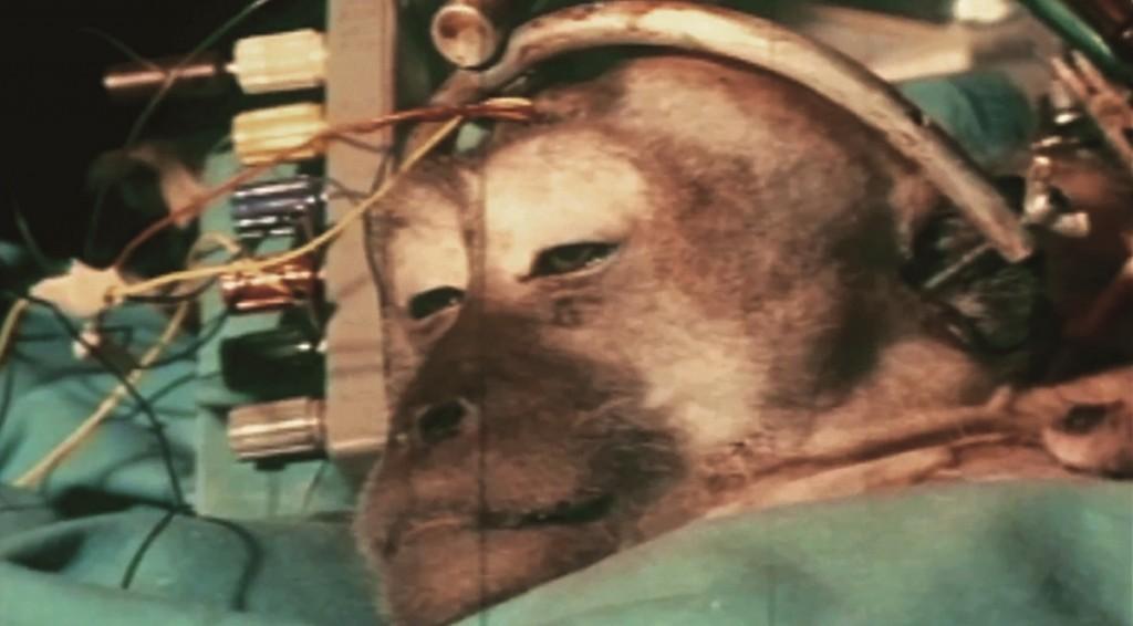 simio trasplante cabeza 2