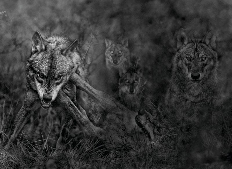 conocer, naturaleza, animales, oso pardo, xlsemanal (4)