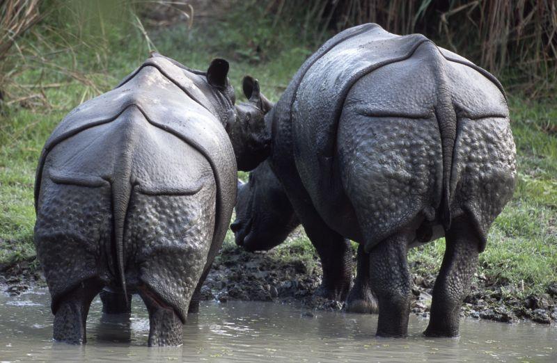 rinoceronte india conocer naturaleza
