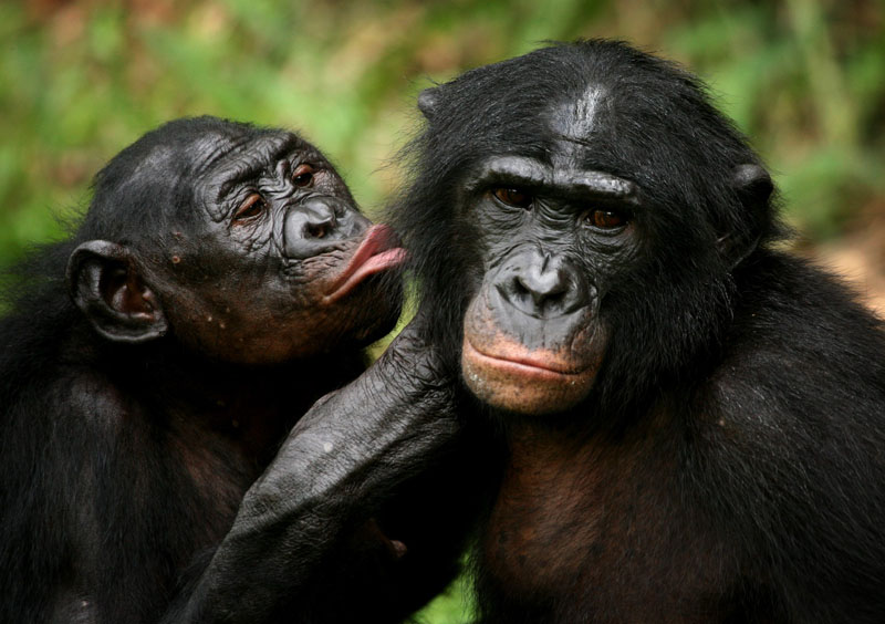 Bonobo apes primates unique to Congo and humankind's closest relative groom one another at a sanctuary just outside the capital Kinshasa