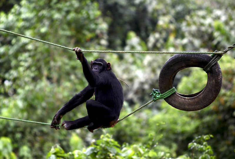 File photo of a chimpanzee resting on a rope tied to car tyres at the Uganda Wildlife Education Centre in Entebbe near Uganda's capital Kampala