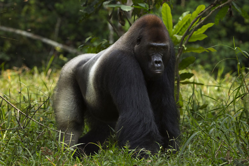 conocer naturaleza gorila