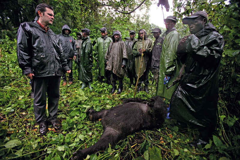 BUKIMA, VIRUNGA NATIONAL PARK, EASTERN CONGO - JULY 2007: Emmanuel De Merode, director of conservation group Wildlife Direct, stands with Congolese Conservation Rangers over the body of a murdered female Mountain Gorilla, July 2007 in the Democratic Republic of Congo. This female was one of 7 highly endangered mountain gorillas who were mysteriously killed that day in one of the biggest killings of an endangered primate in over 30 years. (Photo by Brent Stirton/Getty Images.)