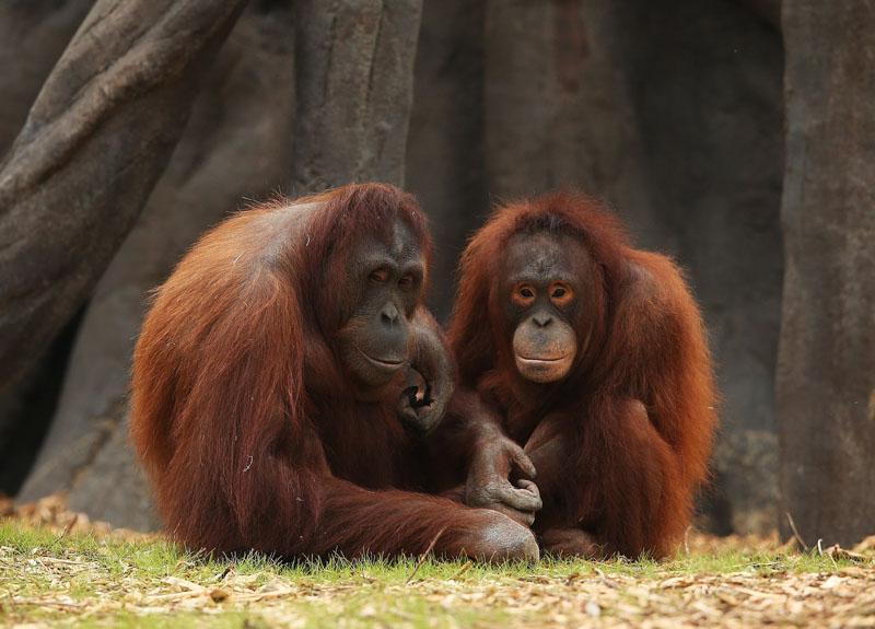 orangutan, conocer, naturaleza