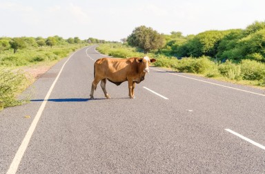 The cow is walking on the road near Maun in Botswana.
