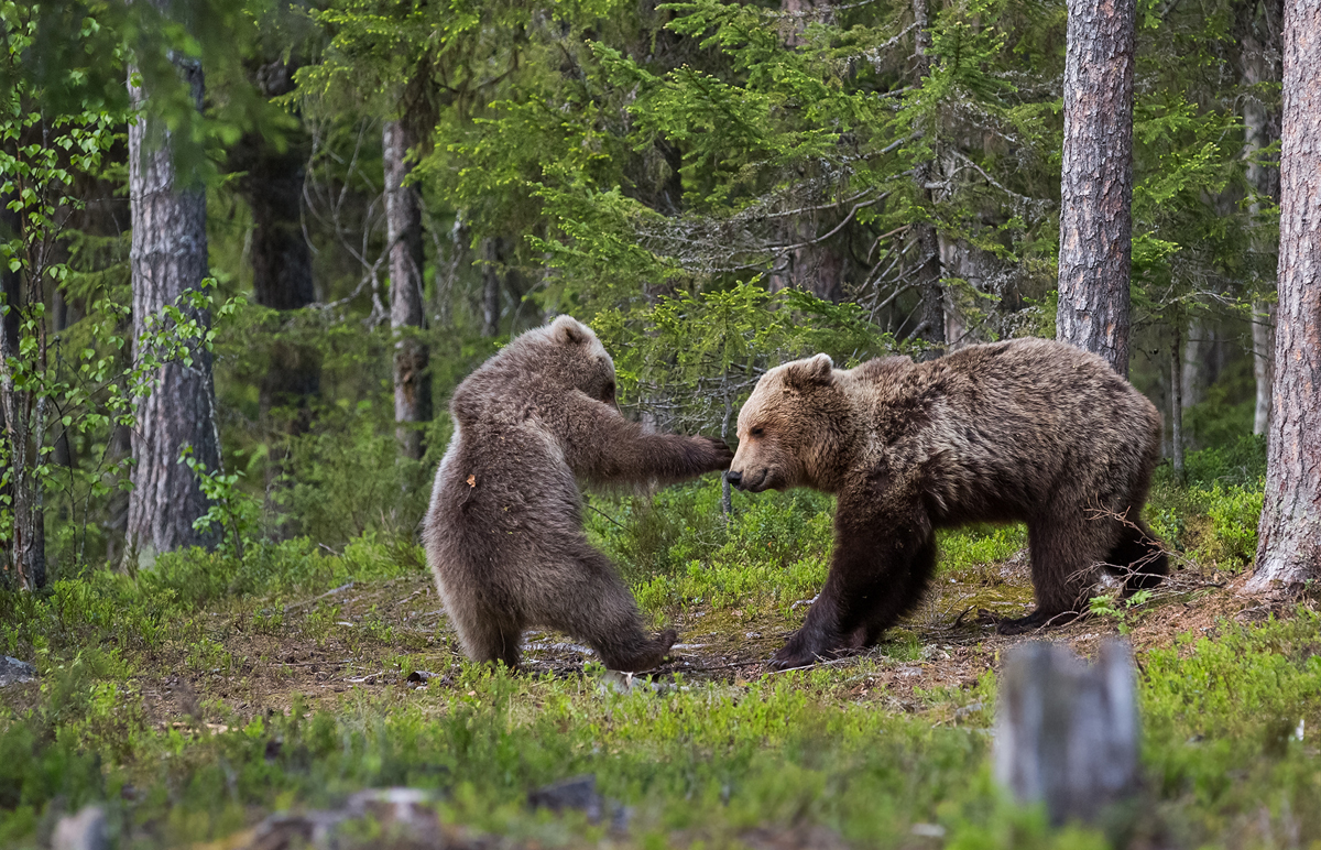 The Comedy Wildlife Photography Awards 2017 Hannele Kaihola Virrat Finland  Title: knockout Caption: Boxing in Finnish forests Description: The motherbear and the boy are playing Animal: Bear Location of shot: Finland, Suomussalmi