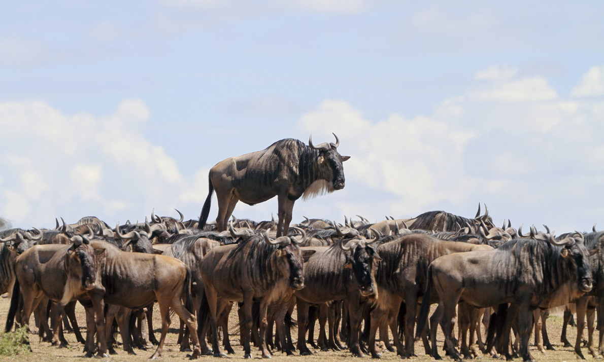 The Comedy Wildlife Photography Awards 2017 JEAN-JACQUES ALCALAY MONTMEYRAN France  Title: Animal encounters Caption: Promotion Description: Blue wildebeest standing on a mound Animal: Blue wildebeest Location of shot: Masai Mara. Kenya