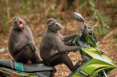 The Comedy Wildlife Photography Awards 2017 Katy Laveck Foster Seattle United States  Title: Monkey Escape Caption: Celebes Macaques, Tangkoko Nature Reserve Description: Celebes Macaques are a critically endangered primate found only on the northern region of Sulawesi, Indonesia. Tangkoko Nature Reserve is an important habitat for this species and others. These two monkeys broke away from their group to 'test drive' a motorbike parked near the entrance to the reserve. Animal: Celebes Macaque Location of shot: Tangkoko Batuangus Nature Reserve - Indonesia