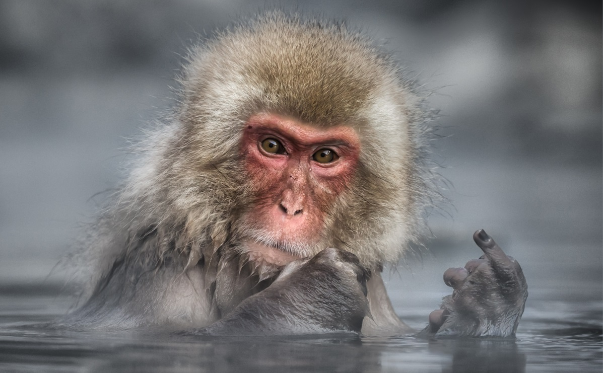 The Comedy Wildlife Photography Awards 2017 Linda Oliver Yamanto Australia  Title: Sending a Clear Message Caption: What they really think of photographers Description: A visit to the hot spring in the Jigokudani Monkey Park near Nakano, where Japanese Macaques, or Snow Monkeys, frequent, is a popular destination for many visitors to Japan. Unfortunately while I was there a few photographers persisted in crowding the space around some animals and I would like to think that this is a message from the Macaque to them. While it is fun to put an anthropomorphic spin on this photograph, I think this monkey just had an injured finger. Animal: Japanese Macaque, or Snow Monkey Location of shot: Jigokundani Monkey Park, near Nakano, Japan
