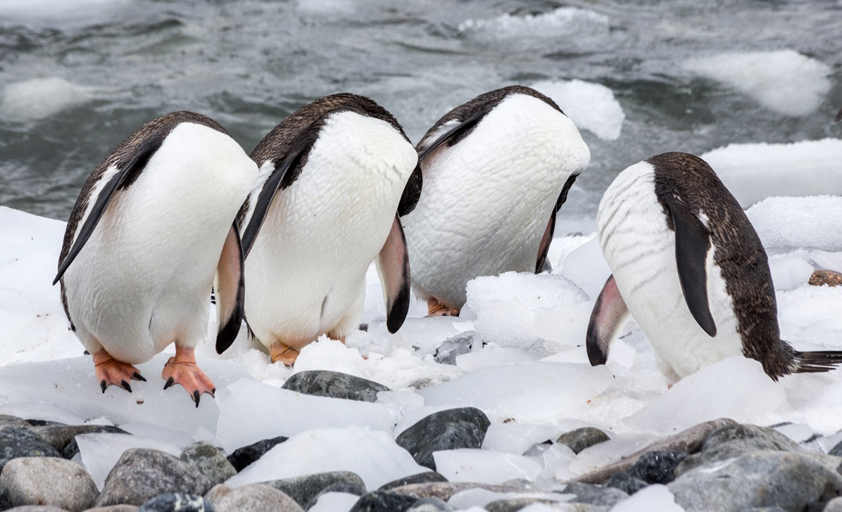 The Comedy Wildlife Photography Awards 2017 Monique Jöris Den Haag Netherlands  Title: Headless penguins? Caption: A new species of penguins was discovered in Antarctica last summer! Description: This photo was taken on an expedition to Antarctica in Januari 2017 on Cuverville Island. A large breeding colony of Gentoo penguins live on this island. In the picture you can see them grooming, but it looks like they all have no head. Animal: Gentoo penguin Location of shot: Cuverville Island, Antarctica