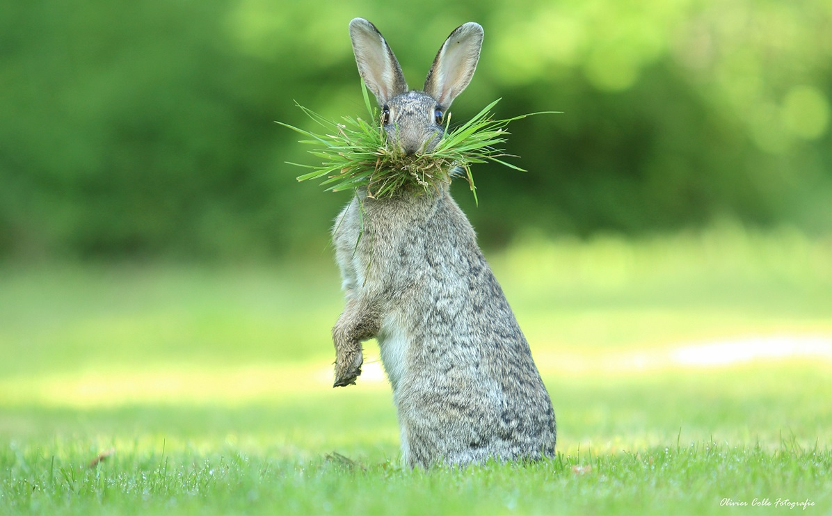 The Comedy Wildlife Photography Awards 2017 Olivier Colle Bredene Belgium  Title: Eh, What's up doc ? Caption: Olivier Colle Description: This wild rabbit is collecting nesting material. I was watching closely as my daughter suddenly called out to this rabbit. What a great answer :) i got!  I didn't dare to watch the frames first. But hey, i really was thrilled ;) Animal: Rabbit Location of shot: Belgum Flanders