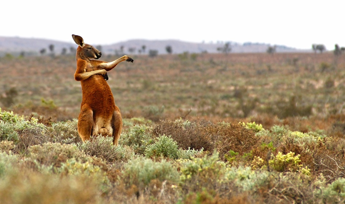 The Comedy Wildlife Photography Awards 2017 Andrey Giljov Saint-Petersburg Russian Federation  Title: Kung fu training (Australian style) Caption: Funny Mammals from South America to Australia (Australian outback) Description: Wild red kangaroos are most active in the early morning. And the morning is the best time for the martial art training! Of course, this was not a training kangaroo male, but a funny posture during scratching. At least kangaroos want us to think so... Animal: Red kangaroo (Macropus rufus) Location of shot: Fowlers Gap Research Station, NSW, Australia
