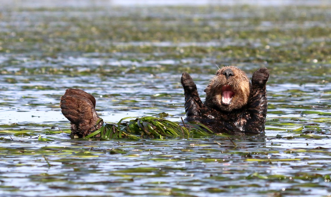 The Comedy Wildlife Photography Awards 2017 Penny Palmer San Rafael United States  Title: Cheering sea otter Caption: Hallelujah! Description: Early morning stretch from a sleepy sea otter Animal: Sea Otter Location of shot: Elkhorn Slough, California, USA