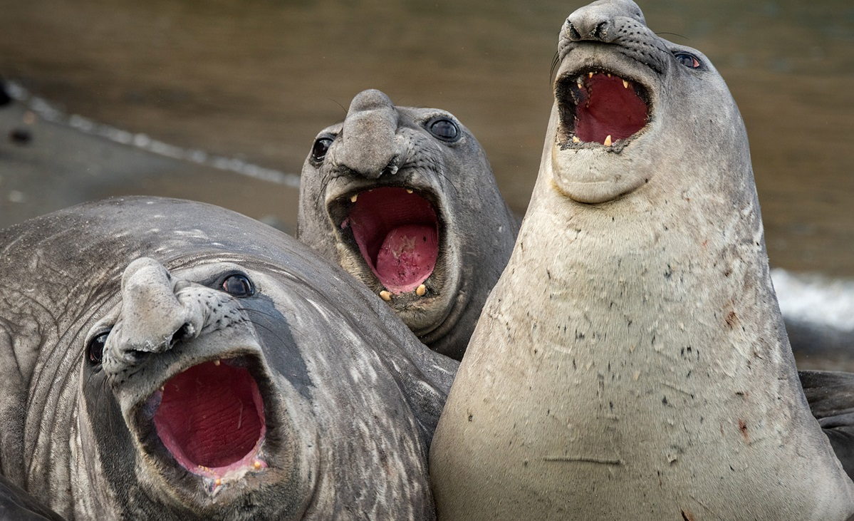 The Comedy Wildlife Photography Awards 2017 Roie Galitz Ramat Gan Israel  Title: Three Tanors Caption: Marvelous musical act by three joyful elephant seals in South Georgia Island Description:  Animal: Elephant Seals Location of shot: South Georgia Island
