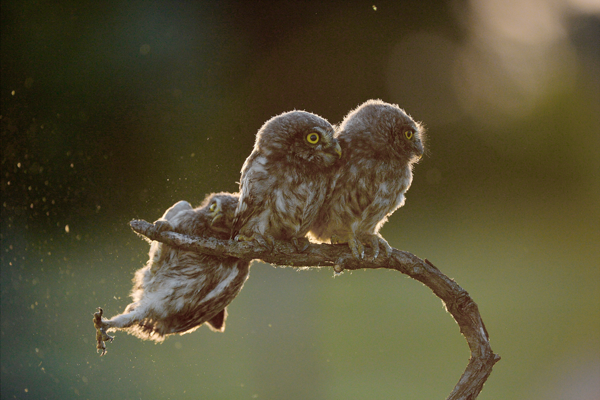 The Comedy Wildlife Photography Awards 2017 Tibor Kercz Erd Hungary  Title: Help !!! Caption: Nikon D4, 4/200-400 at 340 mm, 1/2000s-f/5, ISO 1000 Description: Little owl nestlings. Animal: little owl Location of shot: Opusztaszer, Hungary