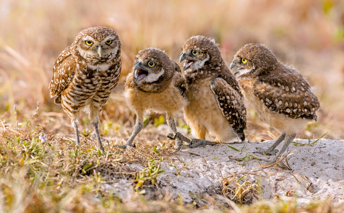 The Comedy Wildlife Photography Awards 2017 Barb D'Arpino Wasaga Beach Canada  Title: MOM, MOM, MOM, MOM Caption: MOM, MOM, MOM, MOM Description: Female Burrowing Owl looking exhausted as four of her owlets vie for her attention. Animal: Burrowing Owl and Owlets Location of shot: Florida, USA