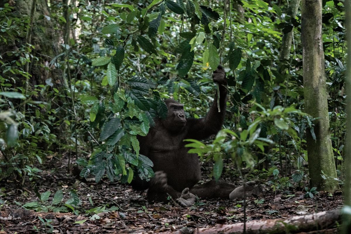 gorilas reserva makumba (1)