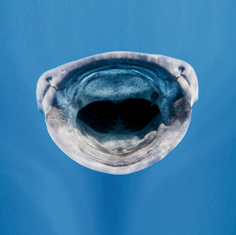 tiburon ballena boca