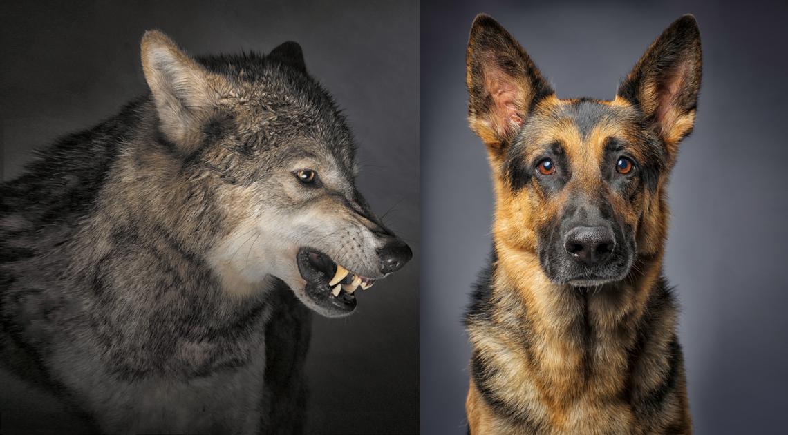¿Cuándo se convirtió el lobo en perro?