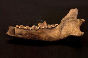 restos arqueologicos, evolucion lobo a perro (1)